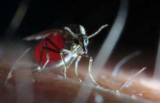 Blauzungen-Überträger Culicoides