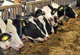 Zulassungserweiterung für Langzeitantibiotikum gegen akute post-partale Metritis