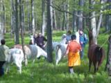 Lama Team Trekking im Taunus