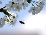 Honigbiene (Quelle:L.Seifert)
