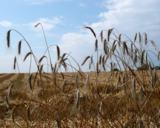 Getreidebestand (Foto: Proplanta)