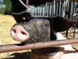 Neugieriges Schwein auf dem Aspichhof in Ottersweier (Foto: Proplanta)