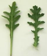 Rucola (li.) und Kreuzkraut (re.) im Vergleich. (Foto: Proplanta)