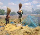 Reisdreschen in Isaan / Thailand (Foto: C. Schneider, Proplanta)