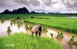 Reisanbau im Nordosten Thailands