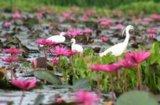 Lotussee Talee Noi