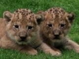 Die Tierpatenschaften von diesen beiden Löwenjungen gibt es