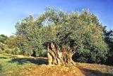 Olivenhaine prägen das Landschaftsbild des Cilento