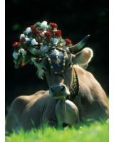 Geschmückte Kuh auf der Weide (Foto: Albin Niederstrasser)