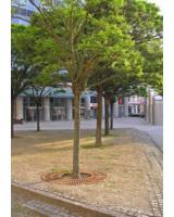 Weißgerber Lesezirkel spendet einen Straßenbaum