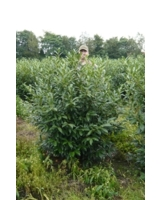 Kirschlorbeer Prunus Herbergii ist eine besonders winterharte Heckenpflanze