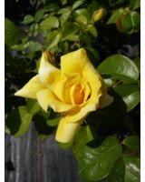 Die Edelrose Landora bezaubert durch eine wunderschöne gelbe Blüte