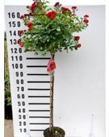 Stammrosen mit einem 110cm Stamm – ideal für den Garten oder als Kübelpflanze