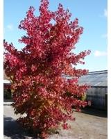 Der Amberbaum / Liquidamber mit seiner leuchtend roten Herbstfärbung