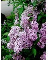 Flieder – ein schöner Frühjahrsblüher für eine Jahreszeitenhecke