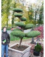 Gartenbonsai - Asiatisches Flair im heimischen Garten