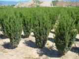 Heckenpflanzen eignen sich gut für den Pflanzenversand