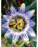 Die blaue Passionsblume – eine der schönsten Herbstblüher
