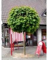 Kugel-Ahorn Acer Platanoides Globosum – ein Klassiker unter den Kugelbäumen
