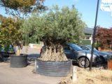 Der Olivenbaum ist eine typische mediterrane Pflanze