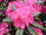 Eine neue und farbenprächtige INKARHO-Rhododendron-Sorte