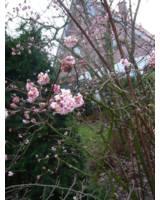Der Schneeball Viburnum ist ein besonders schöner Winterblüher