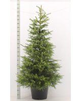Die Serbische Fichte Picea Omorika – ideal als immergrüne, ungiftige Heckenpflanze