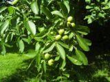 Ein Walnussbaum mit grünen Früchten die nachher zu den leckeren Walnüssen werden