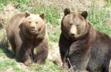 Ausgeschlafene Braunbären in Gackenbach