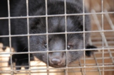 Nerze leiden auf Pelzfarmen in winzigen Käfigen (C) VIER PFOTEN