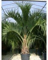 Palmen als Leihpflanzen sorgen für Karibik-Feeling