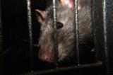 Ratten im Kanal erfordern eine professionelle Schadnagerbekämpfung.