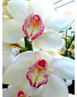 Cymbidium aus dem Orchideengarten Karge