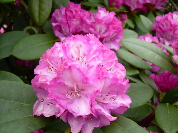 rhododendron farbenpracht f r den heimischen garten. Black Bedroom Furniture Sets. Home Design Ideas